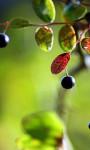 The Year the Huckleberries Failed
